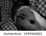 A small black and white guniea pig is trying to exscape, before I