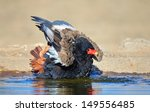 Bateleur Eagle Bathing In...