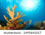 Beautiful Elkhorn coral in Caribbean sea in Grand Cayman, Cayman Islands (Acropora palmata)