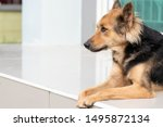 Small photo of close up picture of guard dog sitting in front of house and garden background, Thai dog, Watchdog concept
