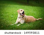 Labrador Retriever Dog On The...