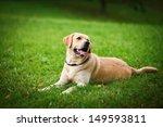 Labrador Retriever Dog On The...