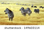 Zebra' S Grazing On Grassland...