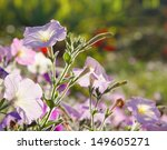purple flower seen against the sunlight makes him glow in the sunlight - stock photo
