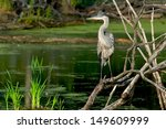 Great Blue Heron Standing On...