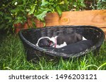 Stock photo boston terrier puppy sleeping outside in a black basket in summer 1496203121