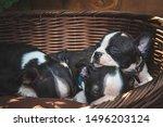 Stock photo boston terrier puppy sleeping outside in a black basket in summer 1496203124