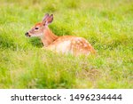 White Tailed Deer Fawn Lying I...
