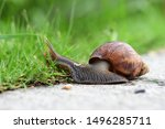 Stock photo african big snails that appear in the grass during the rainy season 1496285711