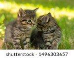 Stock photo two cute little grey kitten with blue eyes kittens on the hunt closeup portrait of grey kittens 1496303657