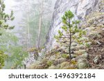 Young Conifer  Pine In The Fog...