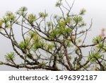 Dwarf Conifer  Pine In The Fog...