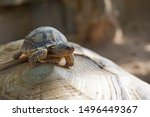Stock photo cute portrait of baby tortoise hatching africa spurred tortoise birth of new life closeup of a 1496449367