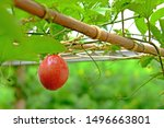Ripen Passion Fruit On Its...