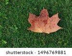 Wet Autumn Maple Leaf Lies On...