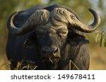 African Buffalo Bull  South...
