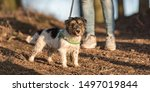 Stock photo woman is walking with a small obedient jack russell terrier dog in the autumn forest 1497019844