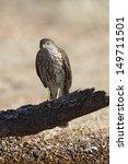 Small photo of Coopers hawk, Accipiter cooperii, juvenile, Arizona, USA, winter