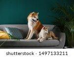 Cute Akita Inu Dogs On Sofa In...