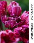 Small photo of listless geranium in macro style