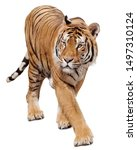 Small photo of Tiger walking on white background