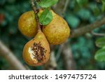 Pear Fruit Tree With Ants....