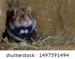Stock photo the european hamster cricetus cricetus also known as the eurasian hamster black bellied hamster 1497591494