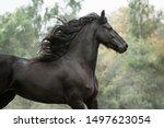 Beautiful Friesian Horse Actio...