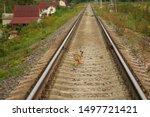 Stock photo hare crosses the railway bunny hare crosses the road wild hare on the railway 1497721421