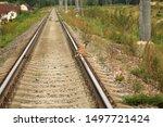 Stock photo hare crosses the railway bunny hare crosses the road wild hare on the railway 1497721424