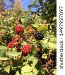Blackberries A.k.a Trail Snack...