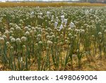 a field of onion plant at...
