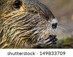 coypu  myocastor coypus  | Shutterstock . vector #149833709