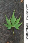Green Maple Tree Leaf Atop Wet...