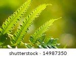 Backlighted Ferns Leaf Fronds...