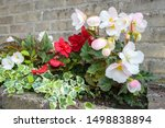 Tuberous Begonia With Flowers...