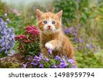 Stock photo a cute baby cat kitten ginger with white and wonderful blue eyes playing with flowers in a garden 1498959794