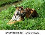 sumatera tiger | Shutterstock . vector #14989621