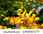 Autumn Leaves. Yellow Leaves O...