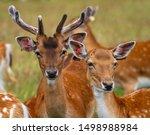 Fallow Deer Dama Dama  Wild...