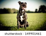 Stock photo happy black bull terrier 149901461