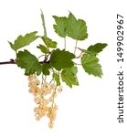 the branch of a white currant... | Shutterstock . vector #149902967