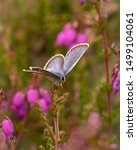 The endangered Silver studded blue butterfly on National Trust Witley common
