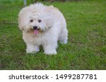 Stock photo long haired white toy poodle dog puppy poodle dog cute white poodle dog on green park relax pet 1499287781