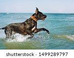 Great Dane Playing In Sea