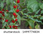 Small photo of Chenopodium foliosum (Erdbeer-spinat) is a very decorative garden plant. Its berries are healthy and eatable, they are red a similar to strawberries or raspberries. Exotic red berries are delicious.