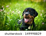 Rottweiler Puppy Dog Autumn