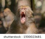 Berber Monkey Showing His Big...