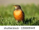 Robin Bird In Green Grass...