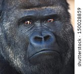Face Portrait Of A Silverback ...